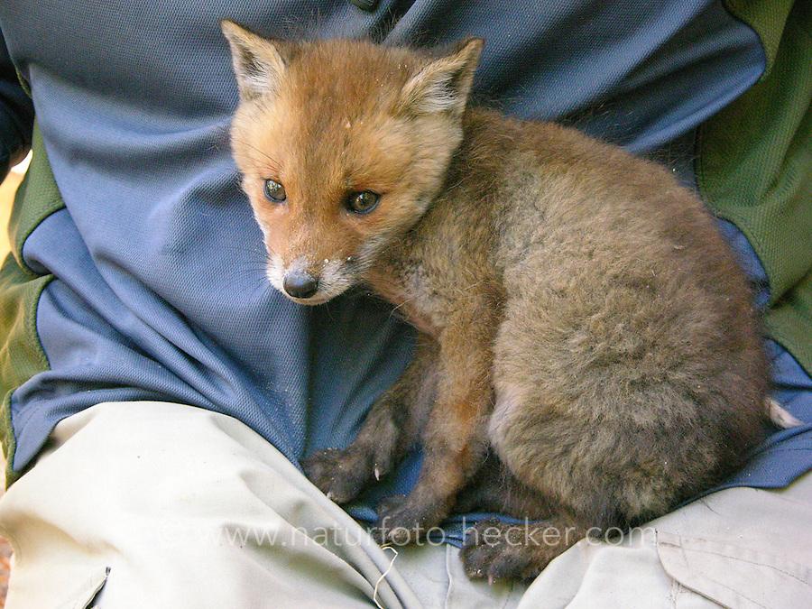 Rotfuchs, verwaistes Jungtier wird in menschlicher Obhut großgezogen, Jungtier wird von Hand aufgezogen, Aufzucht eines Wildtieres, Welpe, Tierkind, Tierbaby, Tierbabies, Rot-Fuchs, Fuchs, Vulpes vulpes, red fox