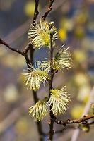 Ohr-Weide, Öhrchen-Weide, Salbei-Weide, Ohrweide, Öhrchenweide, Salbeiweide, Kätzchen, Blüten, Salix aurita, eared willow, Le Saule à oreillettes