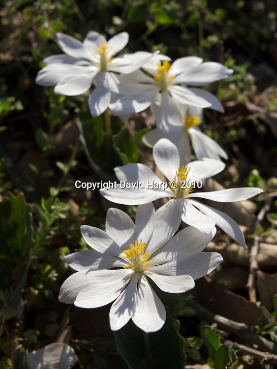 Bloodroot blooms in the spring