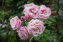 Rosa 'Blossomtime', mid August. A pink, remontant or repeat-flowering climbing rose bred from 'New Dawn' in the US in the 1950s.