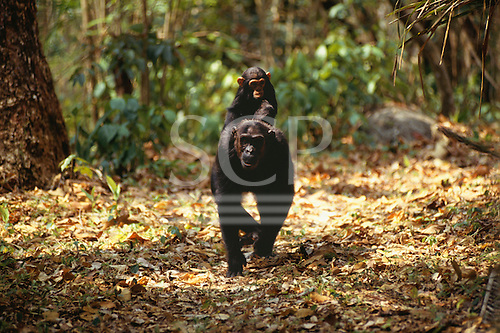 Mahale Mountains, Tanzania. Chimpanzee mother with her baby riding on her back.