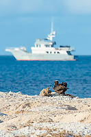 endemic Hawaiian monk seal, Neomonachus schauinslandi ( Critically Endangered Species ), resting on beach reacts to approach of a curious juvenile black-footed albatross, Phoebastria nigripes; research vessel Searcher in background, East Island, French Frigate Shoals, Papahanaumokuakea Marine National Monument, Northwest Hawaiian Islands, USA ( Central Pacific Ocean )