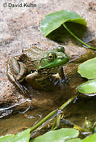 0818-1003  Northern Green Frog Sitting at edge of Pond, Lithobates clamitans, formerly Rana clamitans  © David Kuhn/Dwight Kuhn Photography