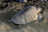 nesting female olive ridley sea turtle, Lepidochelys olivacea, uses one rear flipper at a time to scoop out sand from egg chamber, Playa Ostional, Costa Rica, Pacific Ocean