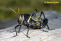 0913-0820  Adult Horse Lubber Grasshopper - Taeniopoda eques © David Kuhn/Dwight Kuhn Photography.