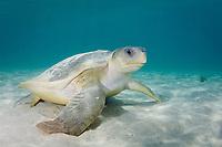 Australian flatback sea turtle, Natator depressus, endemic to Australia and southern New Guinea, Australia
