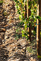 "Vines pruned on stakes, ""echalat"". Llicorella soil. Mas Igneus, Gratallops, Priorato, Catalonia, Spain."