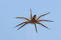 Nursery Web Spider (Pisaurina sp.), adult on water surface, Fennessey Ranch, Refugio, Corpus Christi, Coastal Bend, Texas Coast, USA