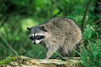 Young raccoon in forest. (Procyon lotor).  Pacific Northwest.