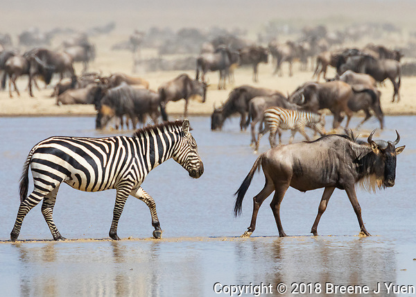 Zebra and Wildebeast Migration - Ndutu Lake - Serengeti - Tanzania