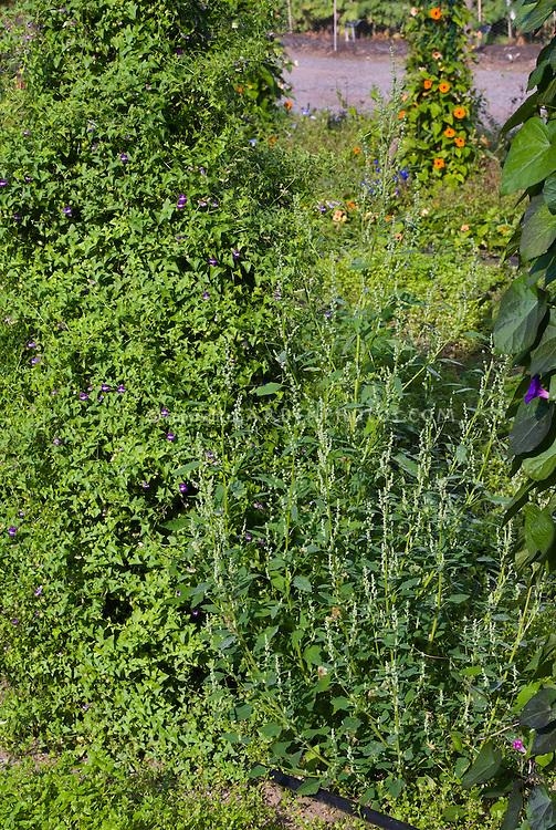 Chenopodium album (fat hen) weed garden problem pest, common name lamb's quarters aka lambs quarters