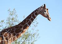 Giraffe portrait with sky in background.