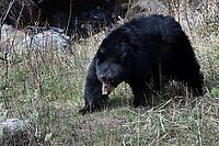 Black Bear, Yellowstone