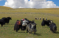 "Tibetan nomads taken a rest with their Yaks on the Tibetan Plateau, the average elevation exceeding 4,500 metres (14,800 ft), the Tibetan Plateau is sometimes called ""the Roof of the World"" and is the world's highest and largest plateau. China.<br />