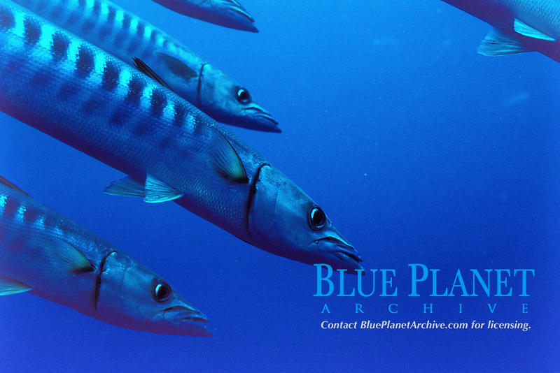Schooling blackfin barracuda in the blue, Sphyraena qenie veligandu island, rasdhoo atoll, maldives, indian ocean