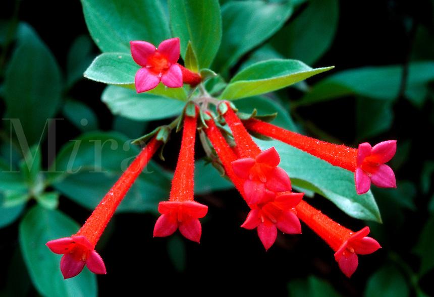 Close up of Scarlet Bouvardia (Bouvardia ternifolia - Trompetilla) blossoms. Arizona.