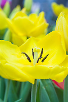 Yellow tulips Tulipa 'Monte Carlo' spring flowering bulb showing pistil and stamens pollination parts