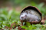 "I've gone coconut shy.  <br /> <br /> An adorable hedgehog curls up to sleep in a coconut shell.  Keen amateur photographer Teddy Hariyanto spotted the animal snoozing in the shell under a bush on an abandoned farm in Bekasi, West Java, Indonesia.<br /> <br /> He said: ""I think the hedgehog came to the abandoned farm and found that coconut shell to sleep in.""  SEE OUR COPY FOR DETAILS.<br /> <br /> Please byline: Teddy Hariyanto/Solent News<br /> <br /> © Teddy Hariyanto/Solent News & Photo Agency<br /> UK +44 (0) 2380 458800"