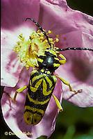 1C25-003e  Sugar Maple Borer Beetle - Glycobius speciosus
