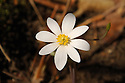 An intimate look at the delicate beauty of Bloodroot.