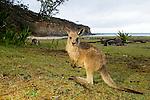 Eastern Grey Kangaroo (Macropus giganteus) joey at the coast, Pebbly Beach, Murramarang National Park, New South Wales, Australia