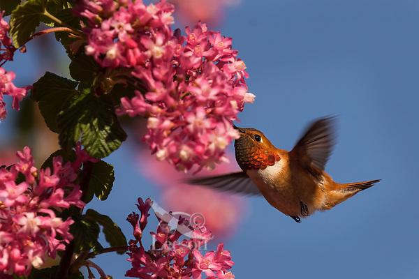 Male Rufous Hummingbird (Selasphorus rufus) nectaring on red-flowering currant blossoms.  Western Washington.  April.