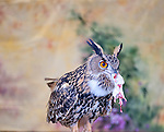 Long eared owl Asio flammeus