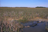 Alligator in the Everglades<br />