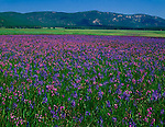 Sawtooth National Recreation Area, ID<br /> Valley Creek Meadow with blooming Shooting Stars and Common Camas