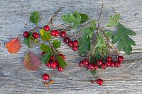 Vergleich Eingriffliger (rechts) und Zweigriffliger (links) Weißdorn, Blatt, Blätter, leaf, leaves, Frucht, Früchte, Beeren, Samen, berry, berries, seed, Samenkern. Eingriffliger Weißdorn, Eingriffeliger Weißdorn, Weissdorn, Weiß-Dorn, Weiss-Dorn, Hagedorn, Crataegus monogyna, hawthorn, common hawthorn, oneseed hawthorn, single-seeded hawthorn, English Hawthorn, May, fruit, L'Aubépine monogyne, L'Aubépine à un style. Zweigriffliger Weißdorn, Zweigriffeliger Weißdorn, Crataegus laevigata, Crataegus oxyacantha, midland hawthorn, English hawthorn, woodland hawthorn, hawthorn, mayflower, May, L'Aubépine lisse, Aubépine à deux styles, Aubépine épineuse