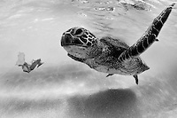 A snorkeler's view of a sea turtle (or honu) off of O'ahu's western shore.