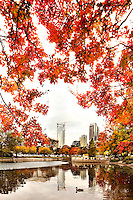 The brilliant hue of orange maple leaves in autumn frame the Charlotte, NC, skyline at Marshall Park. A summer with frequent rains, followed by fall with hot afternoons and cool nights gave leaf peepers a pallet of colorful fall foliage to enjoy in 2009. Photo shows the still-under-construction Duke Energy Center, Charlotte's second-largest skyscraper, on the left side of the frame. Marshall Park, owned by the City of Charlotte, is home to a 1.2 acre pond and urban wildlife.