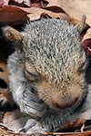 2 Week old Eastern gray squirrel pup in nest.  At this early age, the squirrels eyes are still closed, close-up, vertical.