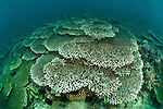 Vast area of plate corals (Acropora sp.) in the reef.