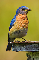 Eastern Bluebird (Sialia sialis). Male perched on nesting box. Spring. Carolinian Forest. Lake Ontario, Ontario, Canada.