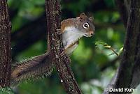 0705-1010  Red Squirrel, Tamiasciurus hudsonicus  © David Kuhn/Dwight Kuhn Photography