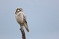 Northern Hawk Owl (Surnia ulula). Varanger, Norway. June.