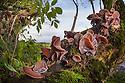 Jelly / Jew's Ear Fungus {Auricularia auricula judae} growing on Elder tree {Sambucus nigra}. Peak District National Park, Derbyshire, UK. November.