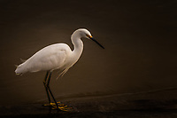 A Snowy egret, an elegant white bird, contemplating its surroundings.  A pose with room for text, copy space.