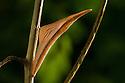 Chrysalis of Orange Tip Butterfly (Anthocharis cardamines) on Garlic Mustard Garlic mustard (Alliaria petiolata). Peak DIstrict National Park, Derbyshire, UK. August.