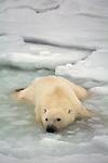A polar bear lays in water amid broken ice chunks.