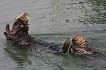 Sea otters stretching