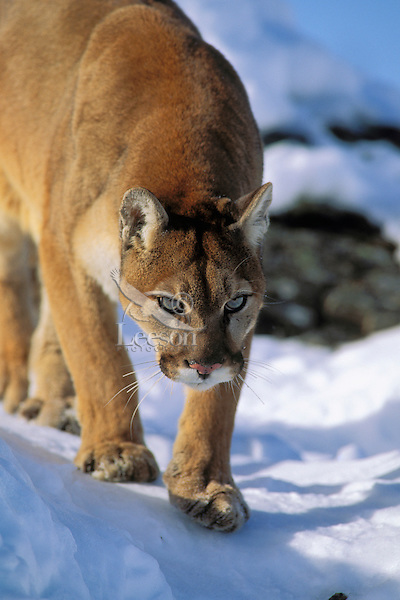 Mountain Lion or Cougar (Felis conclolor).  Western U.S.