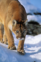 Mountain Lion or Cougar (Felis conclolor).  Western U.S.