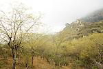 Dhofari Buttontree (Anogeissus dhofarica) in cloud forest in fog below escarpment, Hawf Protected Area, Yemen