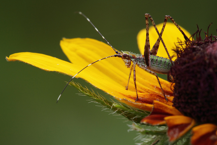 Went outside in fading light and thick clouds about an hour ago, tropical storm Bill's keeping us pretty wet..<br /> Common Katydid nymph on Black Eyed Susan. The first three petals are gone bottom right corner, ergo 'flower destroyer' for a title on this one.