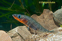 1S30-507z  Male Threespine Stickleback,  Mating colors showing bright red belly and blue eyes, gluing nest together with secretions from kidneys, Gasterosteus aculeatus,  Hotel Lake British Columbia