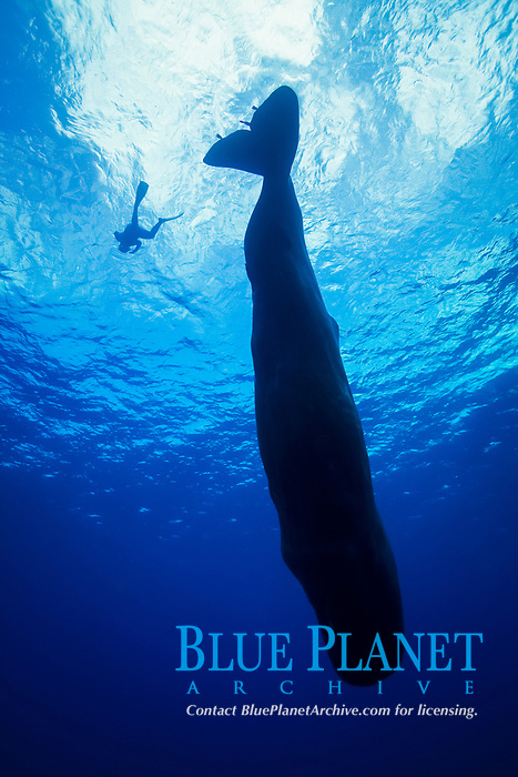 silhouette of diver and diving sperm whale, Physeter macrocephalus, Dominica, Caribbean Sea, Atlantic Ocean