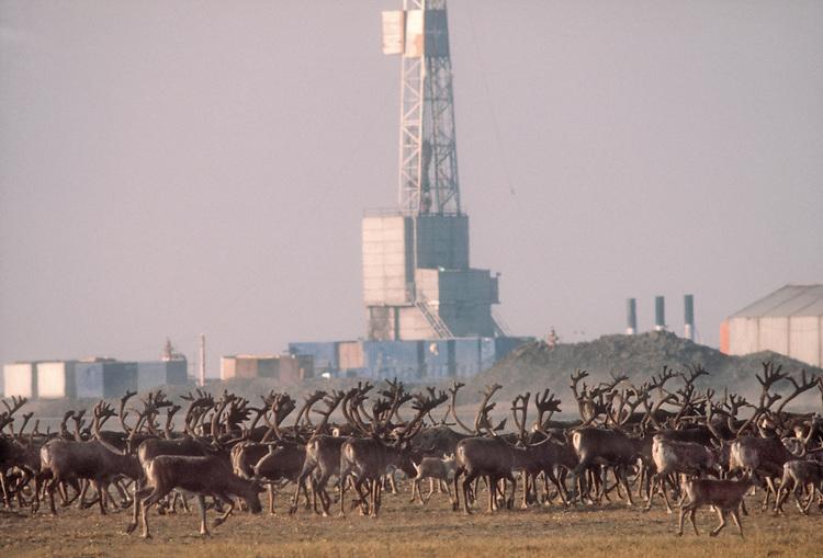Alaska, Caribou, North Slope oil fields, Rangifer tarandus, Porcupine herd, moving past Prudhoe Bay Arctic Drilling Rig, North Slope, Alaska, 1978