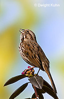SW01-500z Song Sparrow Male singing, Melospiza melodia